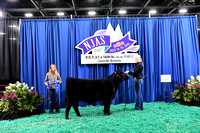 Division 3 Intermediate Heifer (Classes 9-13)