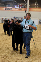 Bred_Owned Heifer Class 17